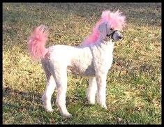 Pardon me if you've seen this but I just ran across it & HAD to share. A TIC poke at poodle crosses The Ponydoodle Poodle Grooming, Pet Grooming, Shaved Animals, Poodle Haircut Styles, Dog Haircuts, Dog Hairstyles, Poodle Cuts, Creative Grooming, Dog Suit