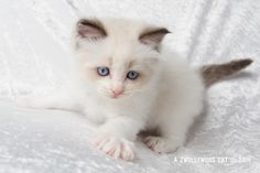 2014: Fillmore A Zwollywood Cat. 6 Weeks old Ragdoll kitten, seal bicolour. Cars litter.