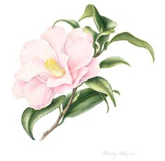 Beverly Allen Camellia Japonica Hagoromo Botanical Illustration, Botanical Prints, Floral Prints, Art Prints, Watercolor Rose, Watercolor Paintings, Tree Art, Flower Art, Drawings
