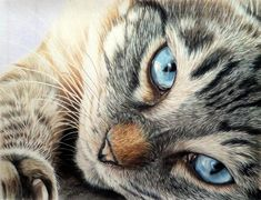 I really enjoyed drawing this beauty. This is on 110 pound paper. Done with Prismacolor pencils. Eyes of Blue Pastel Drawing, Cat Drawing, Pencil Drawings Of Animals, Drawing Animals, Polychromos, Old Portraits, Little Kitty, Color Pencil Art, Cat Art