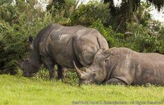 Tampa, FL (Outubro, 2015) - A equipe do Busch Gardens Tampa está extremamente feliz com o sucesso da gravidez de uma rinoceronte branco que vive no parque. A mamãe Kisiri tem 18 anos e este será seu terceiro filhote, que deve nascer nas próximas semanas. O...
