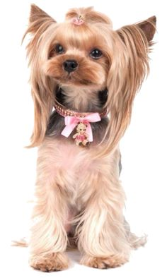 color changes of a yorkshire terrier - Google Search