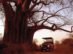Located southwest of Tanzania's most famous safari destinations—the Serengeti and Ngorongoro Crater—7,809-square-mile Ruaha National Park is off the beaten adventure tour track, offering a quieter, wilder environment for exceptional game viewing and birding. The Great Rift Valley crosses the park, and the Great Ruaha River, a year-round lifeline for the park's large mammals, forms the eastern border.