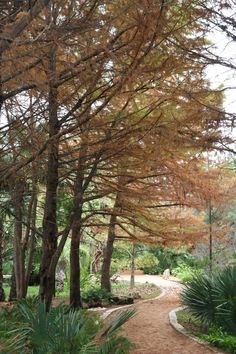 Bald Cypress, Taxodium distichum.  This cypress sheds its leaves in the fall.  These are located near the waterfall in the Hartman Prehistoric Garden.