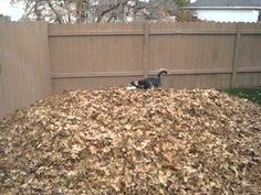 #Siberian #Husky playing in the fall leaves.  Such gleefulness!