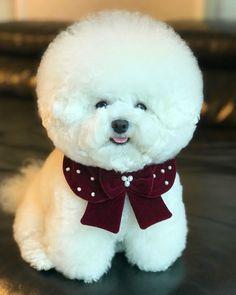 Cute Fluffy Dogs, Cute Baby Dogs, Cute Puppies, Cute Wild Animals, Cute Funny Animals, Animals And Pets, Bichon Dog, Bichons, Cute Creatures