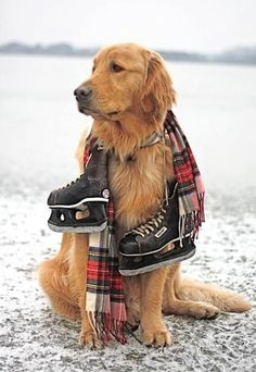 Golden retriever and hockey skates! Cute Puppies, Cute Dogs, Dogs And Puppies, Doggies, Golden Retrievers, I Love Dogs, Puppy Love, Animals Beautiful, Cute Animals