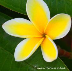 Yellow Plumeria flower of Hawaii