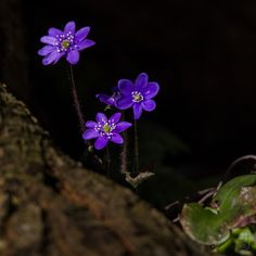 "https://flic.kr/p/Qj1fGQ | Common hepatica - Liverwort (Anemone Hepatica)-6384 | I needed something that would remind me of warmer and longer days now 5 days before Christmas. What could be better than spring flowers! Enjoy!  This is ""normally"" coloured Common hepatica / Liverwort (Blåveis / Anemone Hepatica) from Østerøya, Sandefjord, Norway, 24.03.2012.  Canon 550D, Sigma 150-500mm.  This photo is part of an Common hepatica / Liverwort album showing the colour variations found on..."