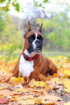 Autumn Boxer