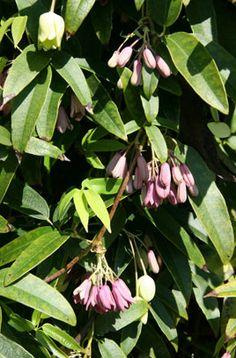 Holboellia latifolia | /RHS Gardening
