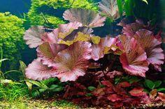 Freshwater Aquarium Plants, Live Aquarium Plants, Planted Aquarium, Aquarium Fish, All Plants, Live Plants, Nymphaea Lotus, 10 Gallon Fish Tank, Leaf Structure