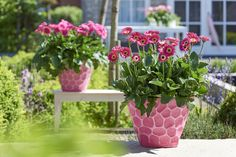 Garvinea® Sweet Spice Garden Gerbera