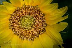 Sunflower by jelve. @go4fotos