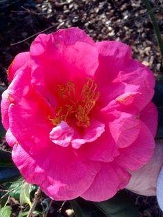 Faith (Camellia Japonica)