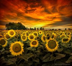 Tuscany Sunflowers by Marco Carmassi on 500px