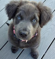 Lab/Irish Wolfhound Mix