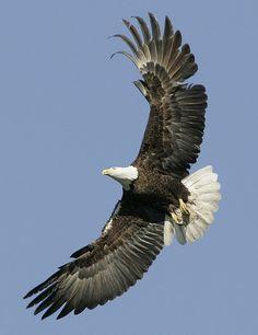 Bald Eagle Yellowstone Wildlife Photo