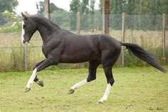 Akhal teke stallion for sale Mazaly All About Horses, Horses For Sale, Horse Markings, Akhal Teke Horses, Horse Ears, Most Beautiful Horses, Horse Love, Horse Breeds, Wild Horses