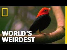 """Birds """"Moonwalk"""" to Impress the Ladies   World's Weirdest - YouTube"""