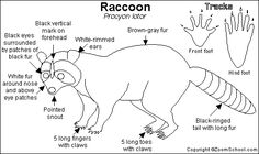 Raccoon Raccoon Raccoon Raccoon
