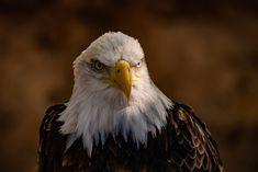 Weisskopfseeadler - Bei einem Besuch in einer Falknerei auf Teneriffa hatte ich die einmalige Möglichkeit Porträt Aufnahmen von einem Amerikanischen Weisskopf Seeadler zu machen.