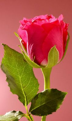 Csodálatos romantikus rózsa