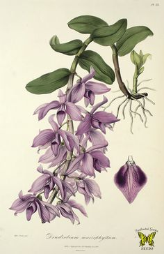 Dendrobium anosmum (as Dendrobium macrophyllum). Powerfully fragrant lavender flowers, spotted burgundy on sides of lip. Bloom is in early spring, each pseudobulb can produce 100 flowers. (1840) [S.A. Drake] F!