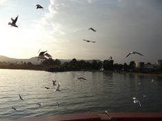 Seagulls from Boat Sea Of Galilee, Bald Eagle, Boat, Animals, Dinghy, Animales, Animaux, Boats, Animal Memes