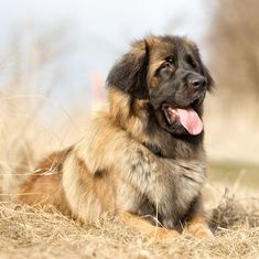 Unique Dog Breeds, Rare Dog Breeds, Best Dog Breeds, Giant Dogs, Big Dogs, Rare Dogs, Nanny Dog, Portuguese Water Dog, Loyal Dogs
