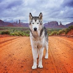 White Wolf : Meet Loki The Wolf Dog That Loves Being Wild And Free
