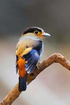 El eurilaimo pechoplata o pico ancho de pecho plateado (Serilophus lunatus) es una especie de ave paseriforme de la familia Eurylaimidae. Es la única especie del género Serilophus. Hay diez subespecies reconocidas en la actualidad, una de las cuales,...