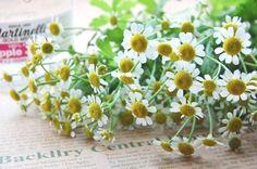 マトリカリア(夏白菊ナツシラギク) Feverfew 花言葉。。。集う喜び