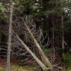 Tumbling Cedars