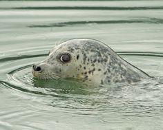 Dark Eyes - Harbor seal
