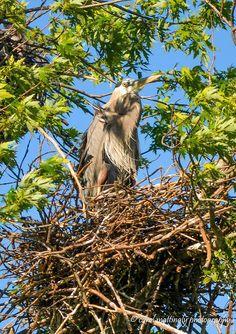 Great Blue Heron, Heron Rookery, Old Hickory Lake, Hendersonville, TN