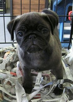 How cute is this gray Pug puppy?  More cuteness @ www.jointhepugs.com  #PugPower #PugLife #PugsofInstagram #cute