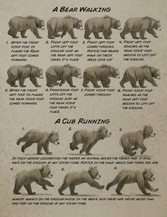 drawing Illustration art disney bear tutorials Character Design how to draw Animal Anatomy aaron blaise anatomy for artists Animation Reference, Anatomy Reference, Drawing Reference, Bear Drawing, Anatomy Drawing, Animal Sketches, Animal Drawings, Ours Grizzly, Urso Bear