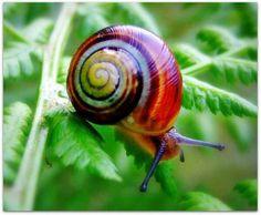 Rainbow snail. Absolutely stunning.