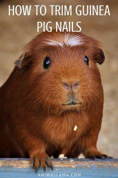 Guinea Pig Nail Care: How to Trim & Cut Cavy's Nails Guinea pig toenails grow continually and if not trimmed,. Baby Guinea Pigs, Guinea Pig Care, Food For Guinea Pigs, Caring For Guinea Pigs, Guinea Pig Hutch, Pig Nails, Guinnea Pig, Skinny Pig, Guinea Pig Bedding