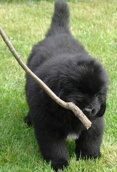 Newfoundland puppy.