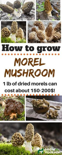 me to show you how to grow morel mushrooms since the procedure is not complicated or confusing.Allow me to show you how to grow morel mushrooms since the procedure is not complicated or confusing. Garden Mushrooms, Edible Mushrooms, Wild Mushrooms, Stuffed Mushrooms, Growing Morel Mushrooms, Indoor Vegetable Gardening, Organic Gardening Tips, Container Gardening, Desert Gardening