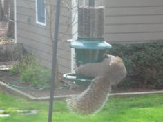 Now that's a little rude, showing your rear end for all the world to see. Keep spinning round and round, you will not be able to reach the seeds inside this bird feeder. It is named the Squirrel Buster Squirrel Proof Bird Feeder after all.