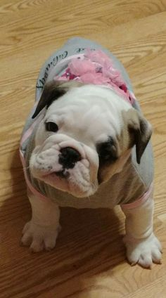 Baby Puppies, Cute Puppies, Cute Dogs, Dogs And Puppies, Doggies, Super Cute Animals, Cute Baby Animals, Animals And Pets, Baby Bulldogs