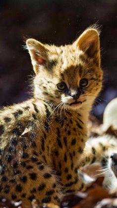 Serval cat, kitten iPhone 6 Plus wallpaper - Kittens Cutest, Cats And Kittens, Cute Cats, Ocelot, Lynx, Beautiful Cats, Animals Beautiful, Serval Kitten, Savannah