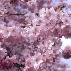 Koristekirsikka Kevätsuudelma - Viherpeukalot