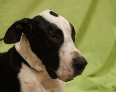 Otto is an adoptable Great Dane Dog in Toledo, OH. All Planned Pethood dogs and puppies are altered (spayed/neutered) and fully vetted prior to adoption.