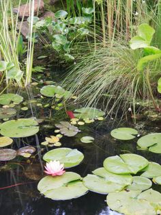 Traditional Pond with Aquatic Garden