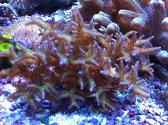 Live Coral in Reef Tank