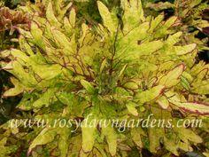 Mint Mocha - Rosy Dawn Gardens
